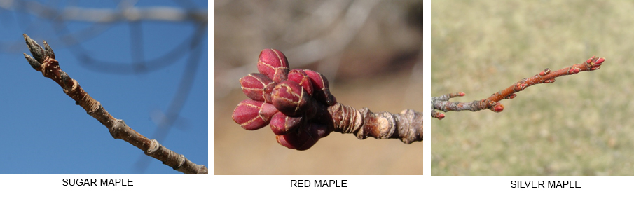 Comparison of different maples species by buds.