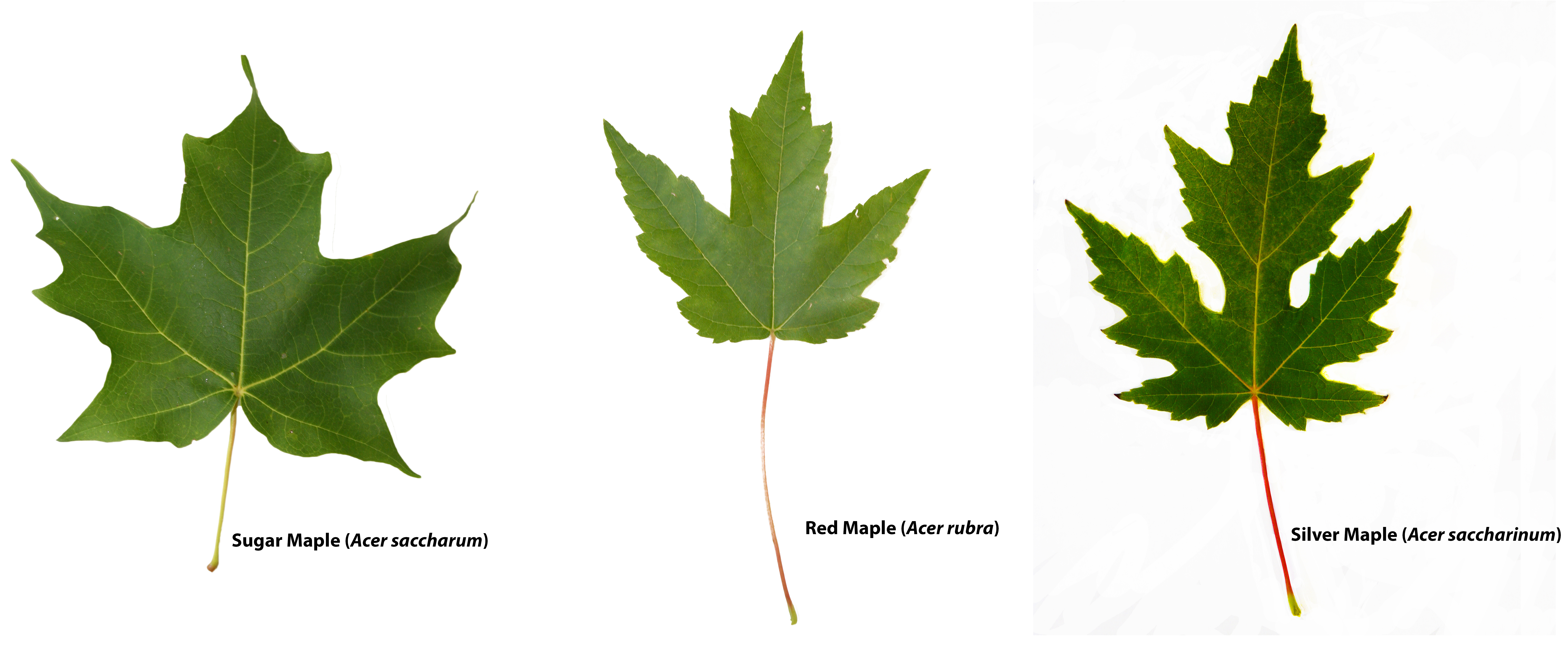 Comparison of different maple trees by leaves